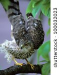 Small photo of Coopers Hawk (Accipiter cooperii)