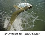 Tarpon fish jumping out of water - stock photo