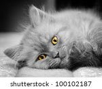 Stock photo small british kitten the age of month 100102187