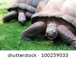 Two Large Giant Tortoises...