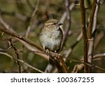 common sparrow sitting on branch - stock photo