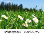 Daisies In The Meadow