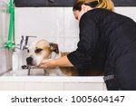 dog grooming process. adorable... | Shutterstock . vector #1005604147