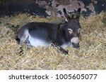 Donkey Lying Down