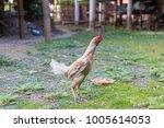 fighting cock on green grass ... | Shutterstock . vector #1005614053