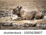 french bulldog playing in a... | Shutterstock . vector #1005628807