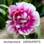 fluffy pink tulip close up in...   Shutterstock . vector #1005639073
