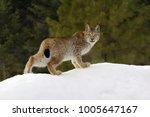 siberian lynx   lynx lynx    Shutterstock . vector #1005647167