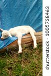 Small photo of saanen baby kid goat resting