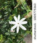 Small photo of The Star Jasmine ,Jasminum multiflorum, Jasminum Adenophyllum, beautiful fragrant white flower.
