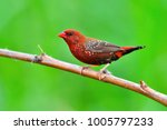 beautiful red bird  red... | Shutterstock . vector #1005797233