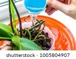 gardener watering cymbidium... | Shutterstock . vector #1005804907