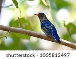 violet cuckoo juvenile   Shutterstock . vector #1005812497