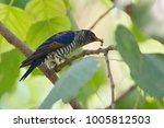 violet cuckoo juvenile   Shutterstock . vector #1005812503