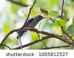 violet cuckoo juvenile   Shutterstock . vector #1005812527