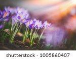 springtime crocuses at sunbeam  ... | Shutterstock . vector #1005860407