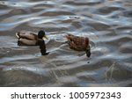 Small photo of duck and drake swim, and in the water weed