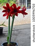 Small photo of Red species Hipperastrum or species Amaryllis flower Carina Flower