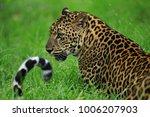 leopards in thung yai huai kha... | Shutterstock . vector #1006207903
