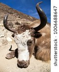Small photo of Head of yak on the way to Everest base camp - Nepal Himalayas