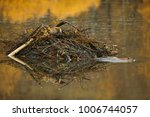 Small photo of American Beaver (Castor canadensis) pair working on lodge in the fall, Grand Teton NP, Wyoming, USA