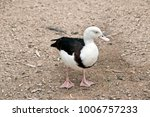 Small photo of the radjah shelduck is standing in a field