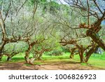 japanese apricot garden with...   Shutterstock . vector #1006826923