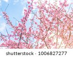 pink blossoms on the branch...   Shutterstock . vector #1006827277