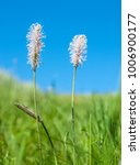 Small photo of low angle shoot of some hoary plantain flowers in sunny ambiance with blue sky at summer time