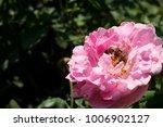 Closeup Bees With Pink Rose...