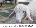 big white sheep in the farm  | Shutterstock . vector #1006913743