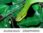 snake in forest  wild animals | Shutterstock . vector #1006944043