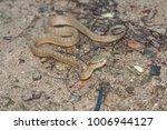 snake in forest  wild animals | Shutterstock . vector #1006944127