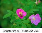 Bumble Bee Flying To A Dog Rose