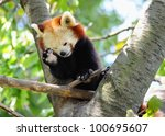 red panda on tree | Shutterstock . vector #100695607