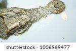 closeup eye of a saltwater... | Shutterstock . vector #1006969477