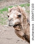 this is  a close up of a camel | Shutterstock . vector #1006971103