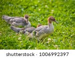 Three  Ducklings With Brown...