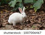 european rabbit in kayama ... | Shutterstock . vector #1007006467