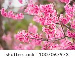 beautiful pink cherry blossom... | Shutterstock . vector #1007067973