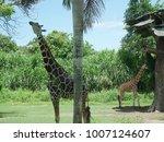 giraffe in bali  safari in bali ... | Shutterstock . vector #1007124607