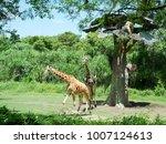 giraffe in bali  safari in bali ... | Shutterstock . vector #1007124613