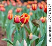 tulip flower. beautiful bouquet ...   Shutterstock . vector #1007176507