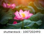 lotus flower blossom    Shutterstock . vector #1007202493