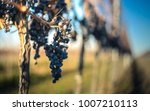 blue vine grapes. grapes for... | Shutterstock . vector #1007210113