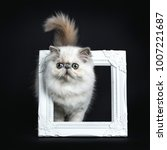 Small photo of Persian longhair cat / kitten walking through white photo frame isolated on black background with tail and head high