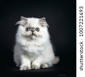Small photo of Persian longhair cat / kitten sitting isolated on black background looking straight at camera