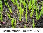 green seedling or bud of... | Shutterstock . vector #1007243677