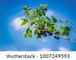 beautiful and fresh black... | Shutterstock . vector #1007249593