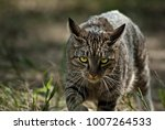 hunting tabby cat on the... | Shutterstock . vector #1007264533